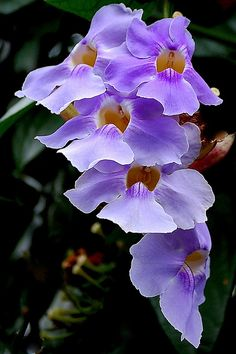 **Violet orchids