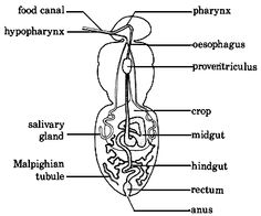 The insect digestive system most insects digestive systems are