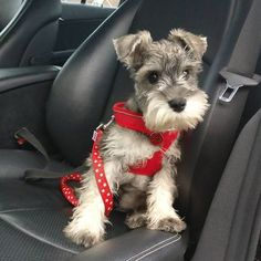 """94 Likes, 6 Comments - Charlie & Ted (@charlesandteddy) on Instagram: """"Riding shotgun with Mum to the pet shop as we've ran out of my food noooo #miniatureschnauzer…"""""""