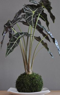 "Kokedama by Utah-based Charlotte Catherine (charlottecatherine.com), using Alocasia 'African Mask'.    Kokedama (translation ""moss ball"") is the practice of removing a root system from its container, surrounding it in a mud cake traditionally made partly made from clay-based akadama bonsai soil, wrapping it in moss then winding it in string."