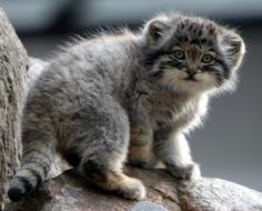 Manual, asian wildcat kitten, also called Manul of Central Asia, near threatened since 2002.