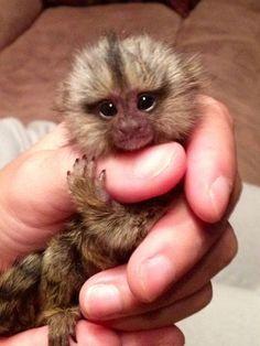 Baby Marmoset Monkey...