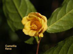 Camellia flava