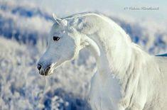 SnowWhite Horse Photos, Horse Pictures, Kathiyawadi Horse, Breyer Horses, Beautiful Arabian Horses, Arabian Beauty, Baby Horses, Horse Portrait, Most Beautiful Animals