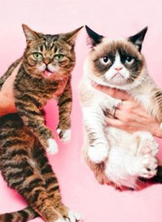 Lil' Bub and Grumpy Cat. My two fave Internet cats on the planet! Baby Animals, Funny Animals, Cute Animals, Crazy Cat Lady, Crazy Cats, Kitten Baby, Cute Cats, Funny Cats, Mundo Animal