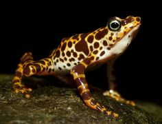 most poisonous frog | ... most colorful and poisonous frogs the most colorful and poisonous