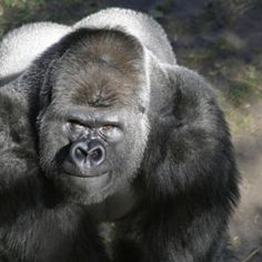 Desaparecen los gorilas   Onda Verde - Yahoo! Mujer Silverback Gorilla, Chimpanzee, Primates, Mammals, Animals Are Beautiful People, Slow Loris, Cute Monkey, Animal Portraits, Baboon