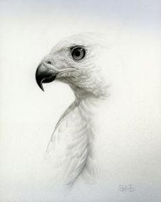Goshawk Study - Original (sold) Print no. - Goshawk Study – Original (sold) Print not available - Owl Bird, Pet Birds, Bird Drawings, Animal Drawings, Eagle Drawing, Bird Sketch, Bird Artwork, Animal Sketches, Bird Pictures