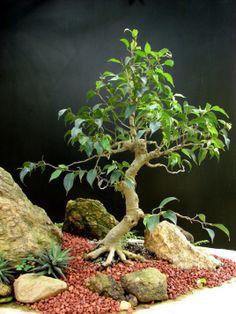 Penjing criado usando 6 elementos: Elemento 1  –  Eugenia sprenguelli Elemento 2  – Pedra modelada em concreto celular com curvatura para se encaixar no vaso e no bonsai. A pedra…