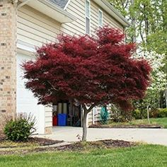 Deep Burgundy Foliage from a Dwarf Maple - The Bloodgood Japanese Maple is the most popular variety of red Japanese maples. They are extremely easy to care for, and their distinctive red foliage makes these trees the ultimate in outdoor decorative beauty. Acer Palmatum, Landscaping Trees, Front Yard Landscaping, Landscaping Borders, Inexpensive Landscaping, Landscaping Design, Driveway Landscaping, Farmhouse Landscaping, Luxury Landscaping
