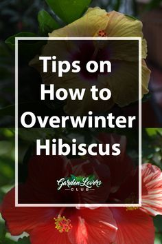 Winter Care: Tips on Overwintering Hibiscus - Garden Lovers Club Hibiscus Tree Care, Growing Hibiscus, Hibiscus Garden, Hibiscus Plant, Hibiscus Flowers, Tropical Garden, Tropical Plants, Hawaiian Flowers, Cactus Flower