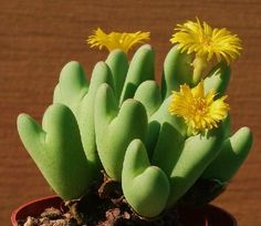 """Conophytum is a genus of South African and Namibian succulent plants that belong to the Aizoaceae family. The name is derived from the Latin \u201cconus"""" (cone) and Greek \u201cphytum"""" (plant)."""