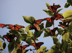 Monarch butterfly tree by Sara Turner ~ Flickr