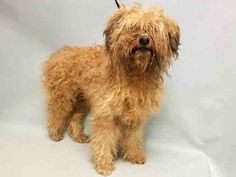 SAFE❤️❤️ 9/21/16 BY NEXT STOP FOREVER❤️❤️ THANK YOU❤️❤️ SYMBA - A1090418 - - Manhattan Please Share:TO BE DESTROYED 09/21/16** NEW HOPE RESCUE ONLY DUE TO SEIZURES ** Symba needs much more than tears to save his life, this adorable ten year old Miniature Poodle mix needs compassionate action and a trip to the Vet to get to the bottom of his seizure condition. Symba arrived at the ACC of NYC on 9/19 due to the costs of his medication. He is a nineteen pound senior that is friendly…