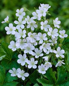 Geranium Sanguineum Alba Good for underplanting. Leaves turn red in winter. Small Trees For Garden, Garden Trees, Garden Plants, Perennial Geranium, Hardy Geranium, Pretty Flowers, Colorful Flowers, White Flowers, Hardy Perennials