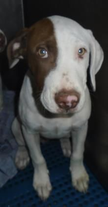 Animal ID33669131  SpeciesDog  BreedTerrier, Pit Bull/Mix  Age1 year 1 month 10 days  GenderMale  SizeMedium  ColorWhite/Tan