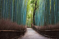 Bamboo Forest, Japan. (via one big photo)