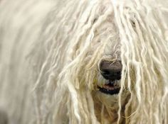 A Komondor at the 2012 Westminster Kennel Club Dog Show - love these dogs!