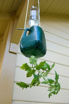 Self watering hanging milk jug planter - Awesome! (Bottle Green Self Watering) DIY upside-down tomato planter, with milk jug, chopstick water bottle! I like the idea of upside down tomato plants but I do not have anywhere to hang them from. DIY hanging to Growing Tomatoes, Growing Plants, Vegetable Garden, Garden Plants, Indoor Plants, Planter Garden, Garden Web, Planter Ideas, Balcony Garden