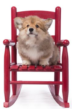 Wellington the cute Pembroke Welsh Corgi, on his throne