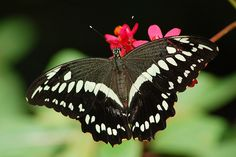 Papilio constantinus on red Spicy Jatropha