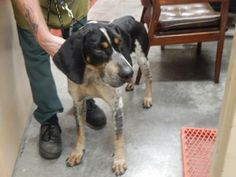 Ralph - URGENT - PIKE COUNTY ANIMAL SHELTER in Pikeville, Kentucky - ADOPT OR FOSTER - Adult Male Bluetick Coonhound Mix