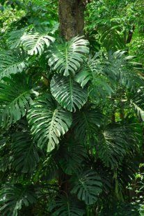 Monsterio , beautiful foliage and edible fruit. The one I planted in the garden has started to climb up a tree fern. I like it's  descision.
