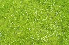 Scotch Moss loves clay soil and even needs it! IT's the moss with that  gorgeous lime- to yellow color in its leaves!  It delivers star shaped white flowers in the spring and looks great against grey stone.