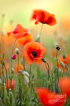 poppy Flower Drawings | ... Poppy Flowers 06 Photograph - Red Corn Poppy Flowers 06 Fine Art Print