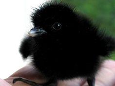 fluffy baby bird.