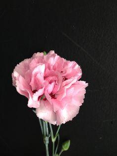 English pinks