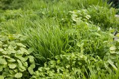 """Cover Crop Basics: plant """"green manure"""" this fall, and your garden will be more productive and healthier next season. 