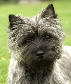 Cairn Terrier - A small, active terrier native to Scotland's Western Highlands, the Cairn was used in packs to control fur-bearing vermin. Description from pinterest.com. I searched for this on bing.com/images