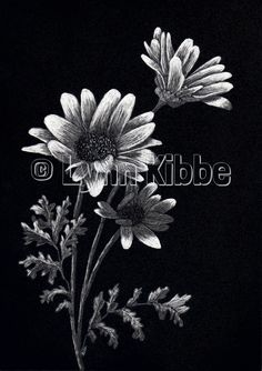 Daisies3, scratchboard (available)