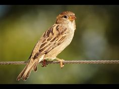 Are you interested in the Sparrow Spirit Animal? Then this guide is for you! When the sparrow spirit animal makes its way into your life, you are being advised… Baby Sparrow, Sparrow Bird, House Sparrow, List Of Birds, All Birds, Public Domain, Big Garden Birdwatch, Bird Pictures, Animal Totems