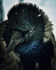 The Crow, Beautiful Birds, Animals Beautiful, Cute Animals, Black Animals, Wild Animals, Blackbird Singing, Quoth The Raven, Raven Art