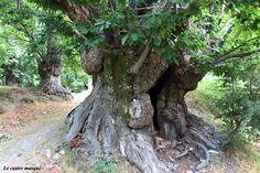 «Le Tronc», plus gros châtaignier cévenol | Les têtards arboricoles