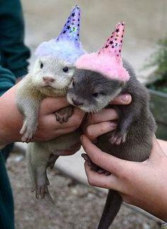 Even in tiny, sparkly birthday hats, these baby otters are unimpressed and think you should know it.