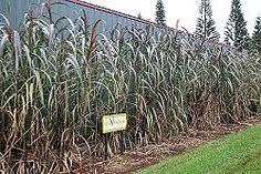 Plantar caña de azúcar