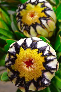 Protea Flower 32 i kruka Protea Flower 32 - decoratoo Strange Flowers, Unusual Flowers, Unusual Plants, Rare Flowers, Rare Plants, Exotic Plants, Cool Plants, Amazing Flowers, Beautiful Flowers