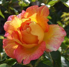 RP: Paul Cezanne : Delbard Large Flowers Fragrant Garden Rose Bush (tea hybrids) : FamousRoses.eu
