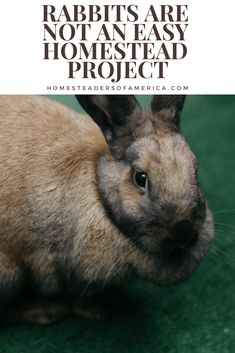 Rabbits are not an easy homestead project - set yourself up for success **i personally feel rabbits are pretty easy but some good info here, too. Meat Rabbits, Raising Rabbits, Rabbit Farm, Hobby Farms, Livestock, Farm Life, Farm Animals, Farming, Homesteading