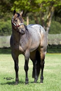 chocolate roan Arabian - Google Search