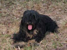 Cão da Serra de Aires / Cao Dog Puppy Sheepdog