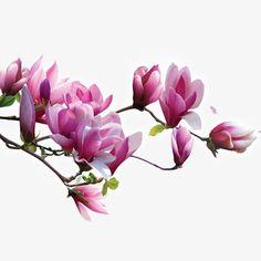 Flor Magnolia, Magnolia Trees, Magnolia Flower, My Flower, Flower Art, Flower Power, Illustration Blume, Botanical Illustration, Watercolor Flowers