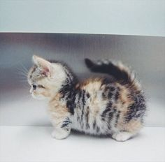 The Munchkin cat: A relatively new breed of cat characterized by its very short legs, which are caused by a naturally occurring genetic mutation.