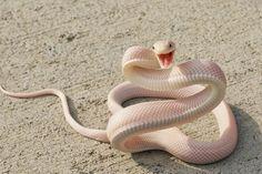 Yılan Gibi Yılan