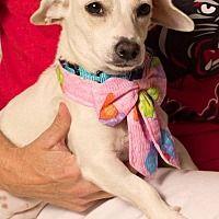 Gilbert, Arizona - Dachshund. Meet Laura, a for adoption. https://www.adoptapet.com/pet/19998360-gilbert-arizona-dachshund-mix