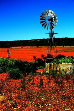 Places to visit in South Africa. Namaqualand is famous for its impressive fields of Namaqua daisies and other wildflowers. Farm Windmill, Beautiful Places, Beautiful Pictures, Old Windmills, Old Barns, Country Barns, Le Moulin, Beautiful Landscapes, Wild Flowers