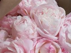 peonies - Google Search